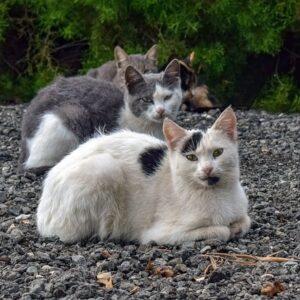 Malattie infettive gatti: quali sono e come si manifestano