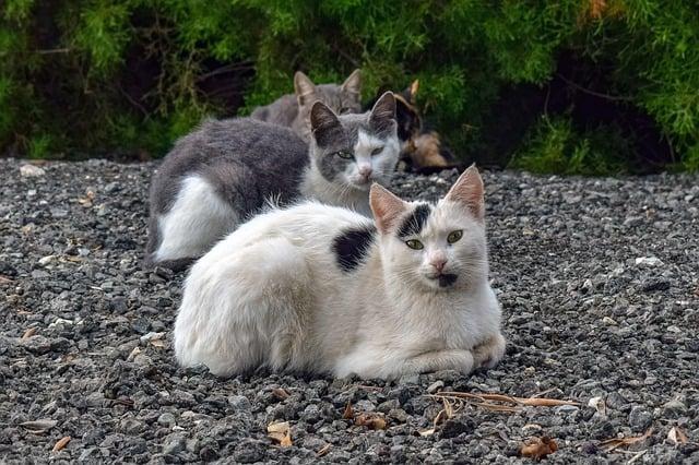 Gatti di colonia, gli esemplari che vivono in comunità numerose sono più facilmente soggetti a contrarre malattie infettive dei gatti