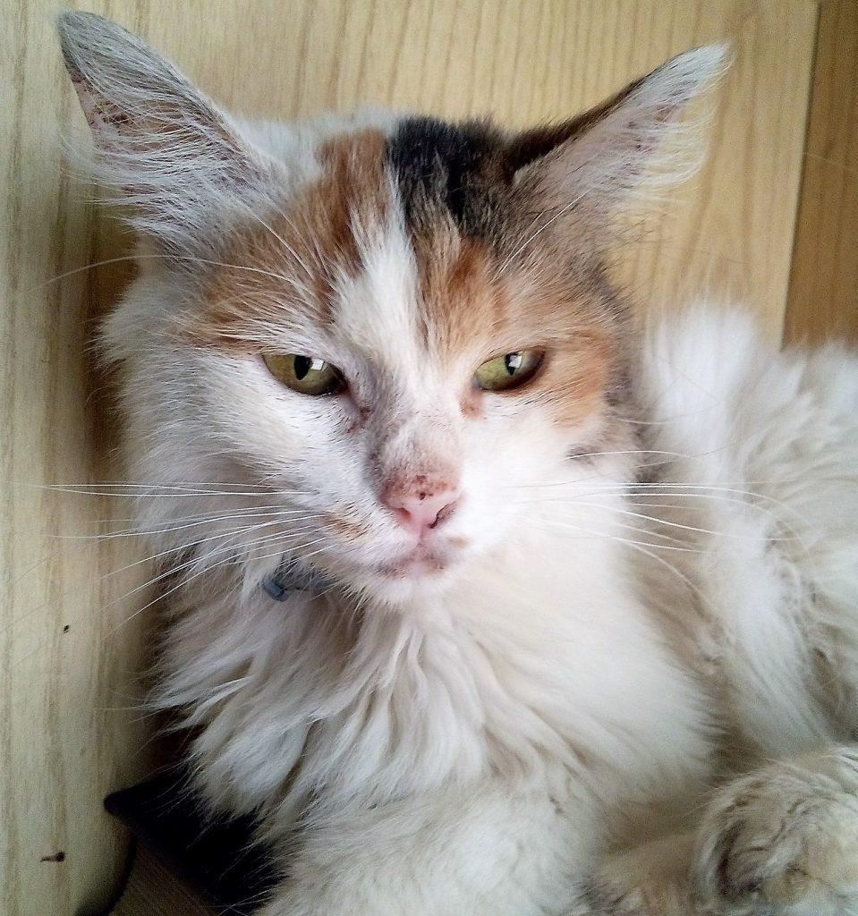 Trilly, un delle gatte del rifugio che ha contratto la Calicivirosi del gatto