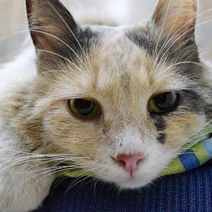Panleucopenia o gastroenterite virale felina: cos'è, sintomi e prevenzione