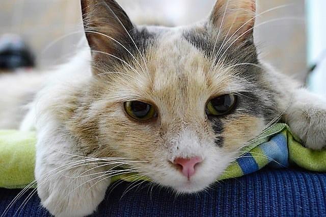 panleucopenia felina, gatto