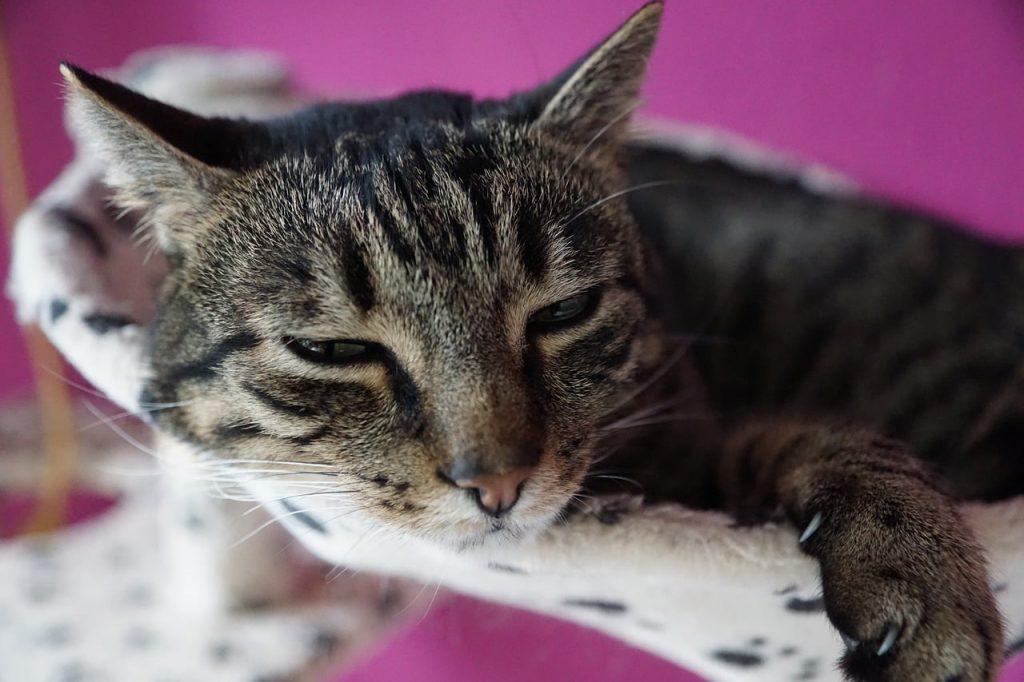 Rinotracheite gatto, un gatto ammalato